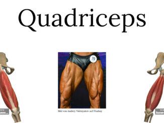 Quadriceps Aufbau und Funktionen