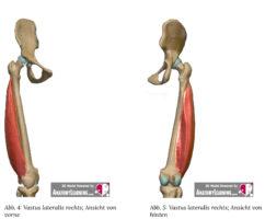 Quadriceps Aufbau und Funktionen Quadriceps anatomie quadriceps muskel