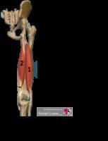ischiocrurale muskulatur hamstrings anatomie hamstrings funktion ischiocrurale muskulatur funktion