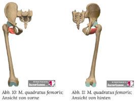 quadratus femoris